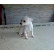 Chihuahuas Mini, Mira El Video!! Pedigree De Fca