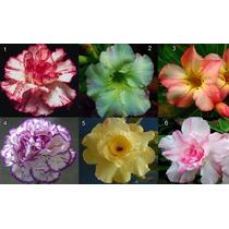 6 Sementes Rosa Deserto Raras 1 De Cada Cor + Frete Grátis