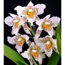 Orquideas Rhynchostele Enraizada En Caja Natural 11x11 Wii