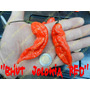 Semillas De Chile Bhut Jolokia Red (chile Fantasma)