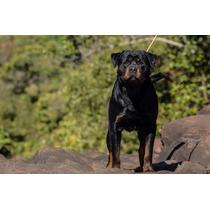 Rottweiler Filho Do Mamute Rottland Jovem N.1 Brasil 2012 !