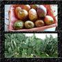 Cacto Figo Da Índia Ficus Indica - Sementes Fruta Para Mudas
