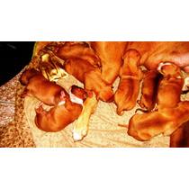 Pitbulls American Red Noise Terrier Vendo O Permuto