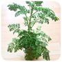 Artemisia Annua, 2 Plantines Chicos, Hierba Med. (z. Norte)