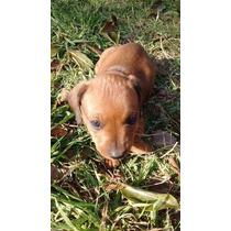 Cachorros Salchichas - Dachshund Mini