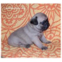 Pug Mini Abricot Macho, Lindos Filhotes, Com Pedigree