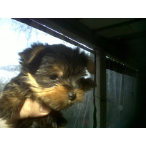 Cachorros Yorkshire Terrier, Machito Mini Pilar