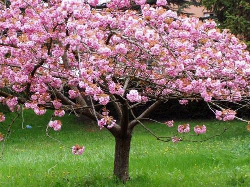 Semillas Cerezo Japones Prunus Serrulata Sakura Blossom