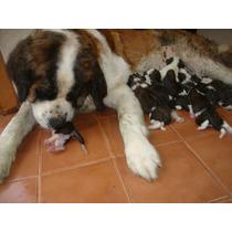 Cachorros San Bernardo Nacidos El 03-10-16