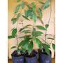Canela-árbol Exótico, Aromático, Follaje Ornamental