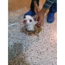 Alquilo Mi Chihuahua Para Monta Muy Efectivo Da Hasta 4 Cach