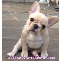 Unicos Bulldog Frances! Hembras Fawn Y Pied Fawn