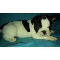 Cachorro Bulldog Frances Macho Vaquita Fca