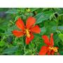Pavonia Missionum Planta Autóctona De Flor Roja