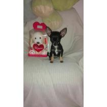 Chihuahua Mini Hembrita De Bolsillo Un Lujo