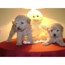 Hermosos Cachorros De Caniches Apricot Mico Toy!!