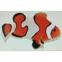 Clown Fancy White Semi ( Amphiprion Ocellaris )