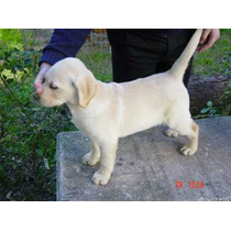Labrador Retriever 2 Cach 5 Meses Exc. Rockefeller Willsam