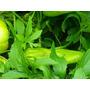 1 Planta De Stevia 1 Planta De Caigua