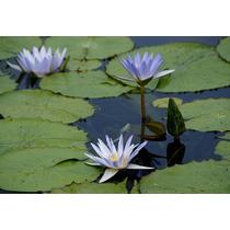 Planta Para Lago Nymphaea Caerulea.
