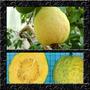 Goiaba Polpa Amarela Sementes Frutas Para Mudas E Bonsai