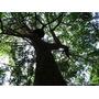 Sementes De Acacia Mangium 100g - Grande Quantidade