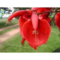 Ceibo: Flor Nacional De Uruguay
