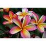Flores Semillas Plumeria Mix De Variedades Y Colores