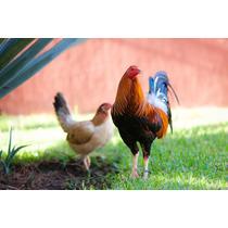 Gallos Para Combate Y Pie De Cria Semental Giro