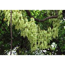 100 Sementes De Trepadeira Jade Branca - Com Garantia