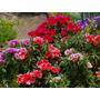 400 Sementes Da Flor Godétia Azaléia Sortida Frete Grátis
