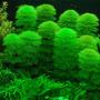 Plantas Acuáticas Para Acuario Limnophila Sessiliflora
