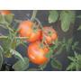 Tomate, Plantines De Tomate
