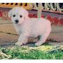 Hermosos Poodles Toys Listos Para La Entrega