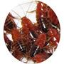 Alimento Vivo Mini Runner X 50 - Ideal Geckos, Erizos Y Aves