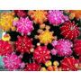 Cactus Gimno Mihanovichii Color Hibotan Injerto Tuna Regalo