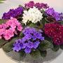 Plantas De Jardin Violetas Africas + Obsequio