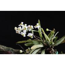 Mudas De Zygostates Alleniana - Micro Orquidea