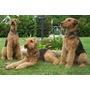Airedale Terrier Cachorros (de Padres Inscritos)