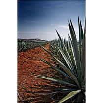 4 Mudas De Agave Azul (a Planta Da Tequila) Frete Grátis!