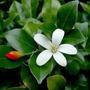 Jazmin De Azahar - Azahar De La India - Murraya Paniculata