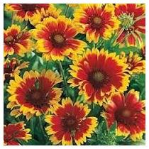 Gaillardia Blanquet Flower 10 Semillas Jardín Nmp Sdqro