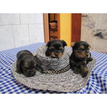 Yorkshire Terrier Hembras ,los Mas Minis Del Mercado $ 9999