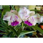 Orquídeas Cattleya Intermedia (colores Varios)