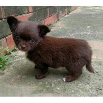 Chihuahua Macho Chocolate Pelo Longo