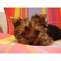 Yorkshire Terrier De Bolsillo !! Mini Super