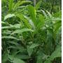 Plantas Aromaticas, Medicinales, Misticas, Cardamomo