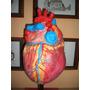 Maquetas Para Estudiantes Anatómicas