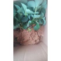 Plantas De Fresa Cantidad De 30 Y Fórmula Nutritiva