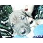 Perros Dogo Argentino Cachorros